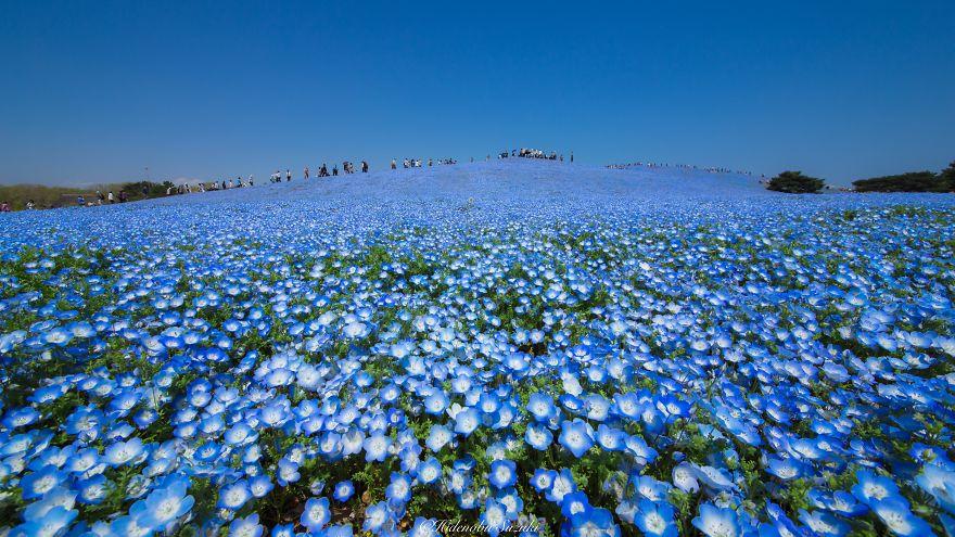 nemophila-blu-hitachi-seaside-park-giappone-shibazakura-hidenobu-suzuki-8