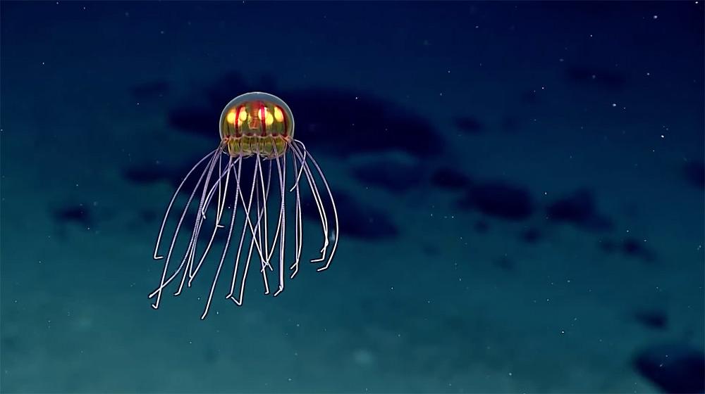 nuova-specie-medusa-luminosa-noaa-1