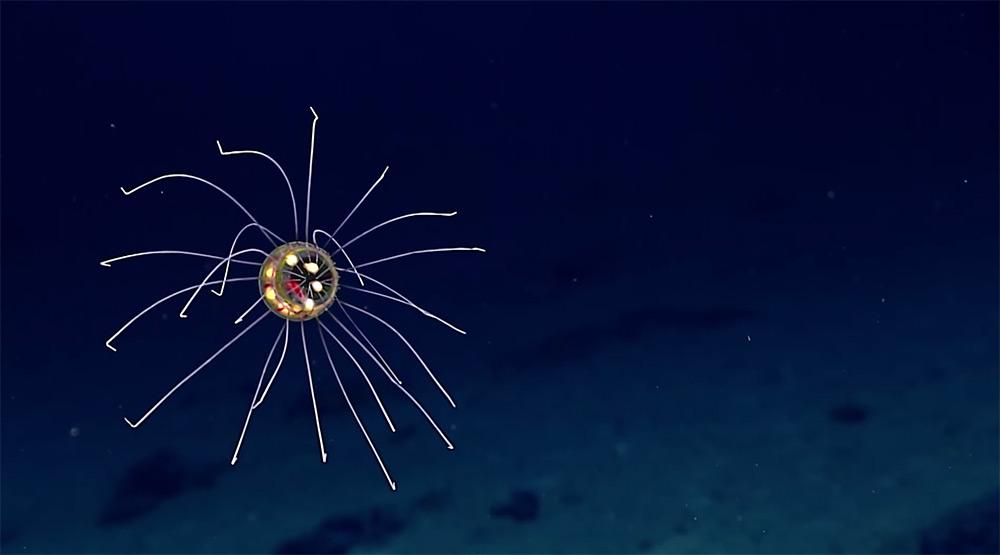 nuova-specie-medusa-luminosa-noaa-2