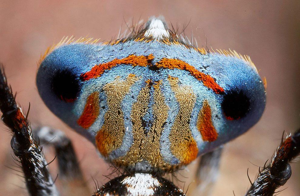 ragno-pavone-australia-maratus-tasmanicus-immagini-jurgen-otto-03