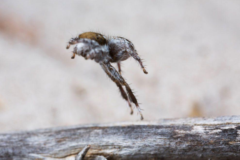 ragno-pavone-australia-maratus-tasmanicus-immagini-jurgen-otto-05
