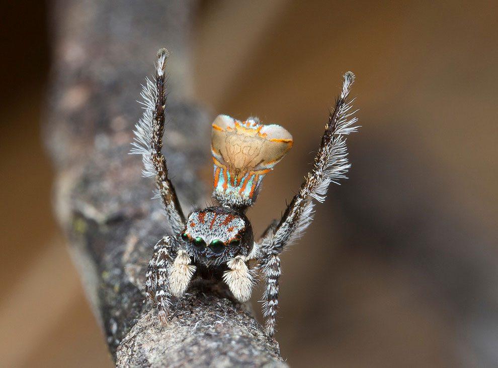 ragno-pavone-australia-maratus-tasmanicus-immagini-jurgen-otto-08