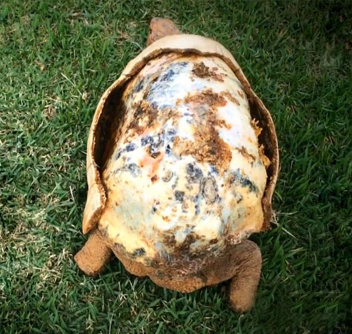 tartaruga-ferita-riceve-primo-carapace-stampato-3D-the-animal-avengers-1