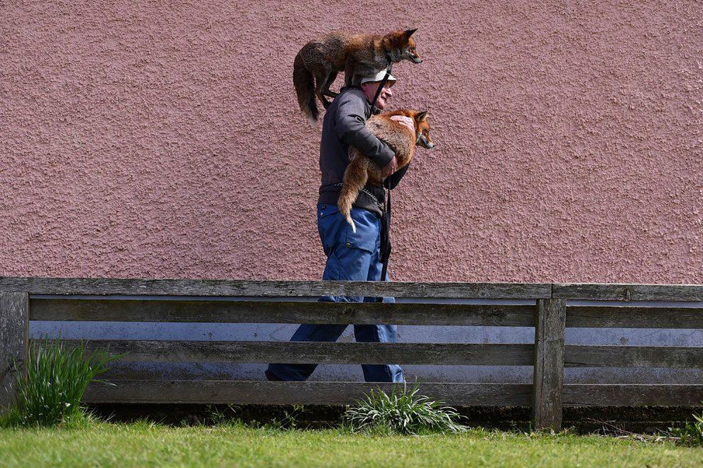 uomo-salva-volpi-amicizia-patsy-gibbons-grainne-minnie-05
