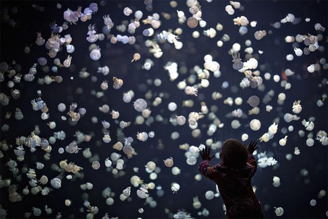 immagini-meduse-vancouver-aquarium-1