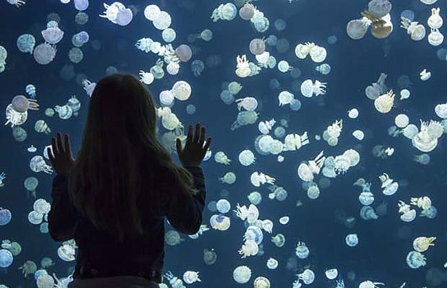 immagini-meduse-vancouver-aquarium-5