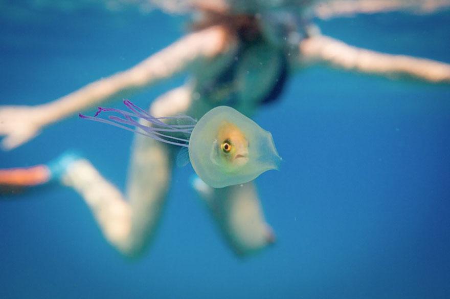 pesce-intrappolato-dentro-medusa-foto-tim-samuel-1