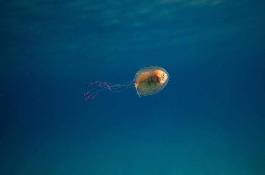 pesce-intrappolato-dentro-medusa-foto-tim-samuel-3