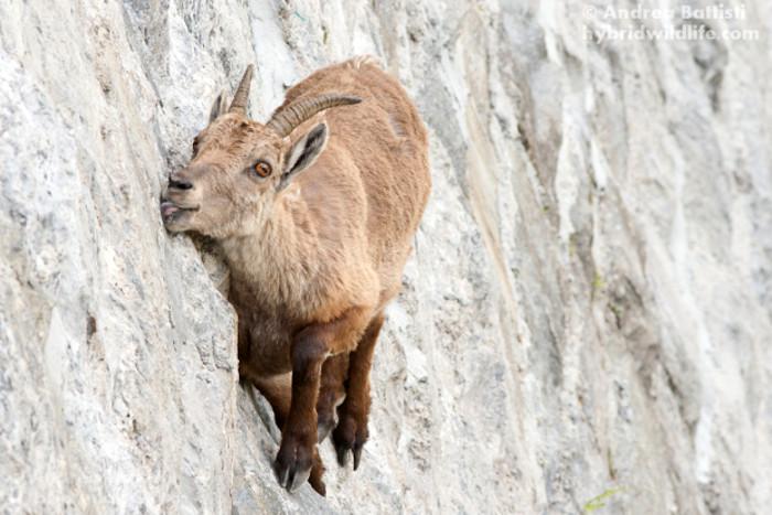 stambecco-alpi-capra-ibex-scala-diga-parco-naturale-valle-antrona-andrea-battisti-1