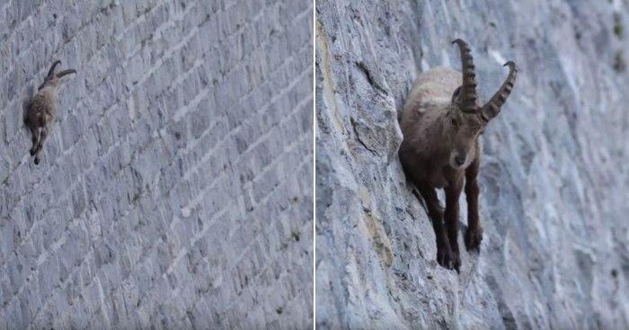 stambecco-alpi-capra-ibex-scala-diga-parco-naturale-valle-antrona-andrea-battisti-3