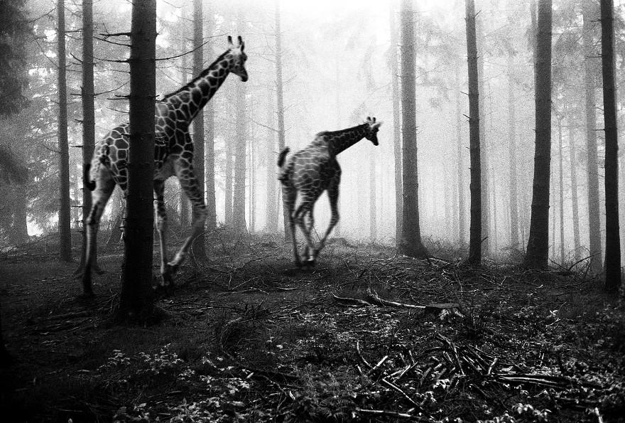 foto-animali-foresta-bianco-nero-tierwald-frank-machalowski-02
