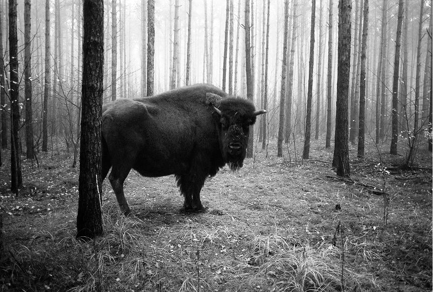 foto-animali-foresta-bianco-nero-tierwald-frank-machalowski-12