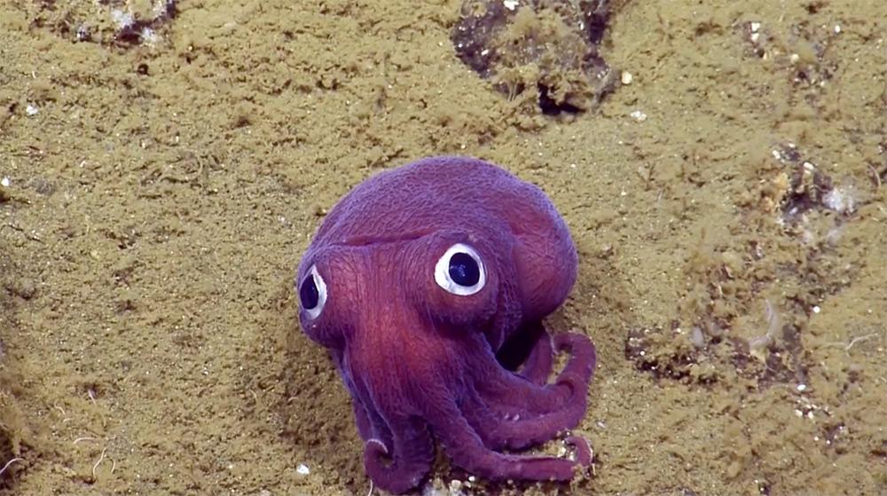 calamaro-tozzo-seppia-viola-buffa-rossia-pacifica-1