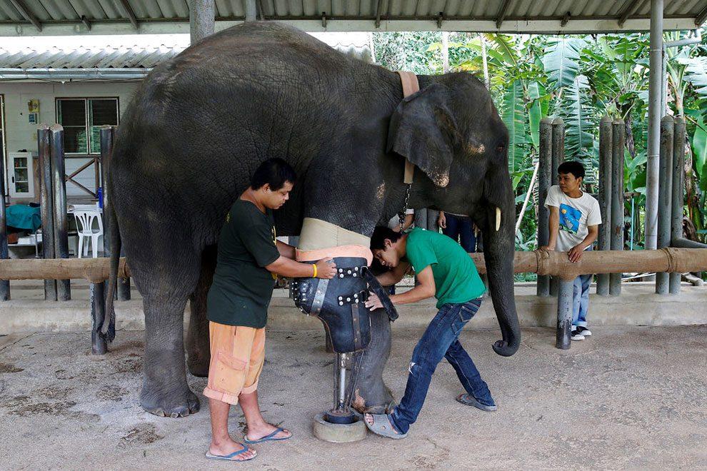 elefanti-senza-zampa-protesi-arto-artificiale-tailandia-01
