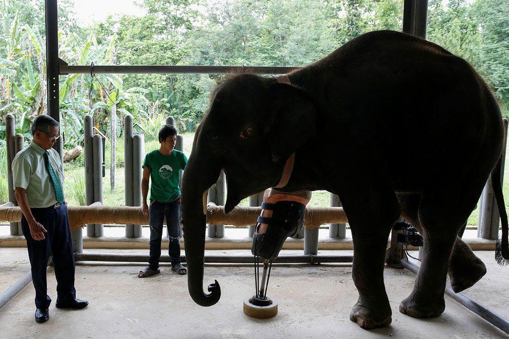 elefanti-senza-zampa-protesi-arto-artificiale-tailandia-02