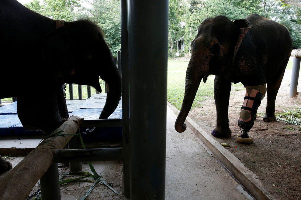 elefanti-senza-zampa-protesi-arto-artificiale-tailandia-03