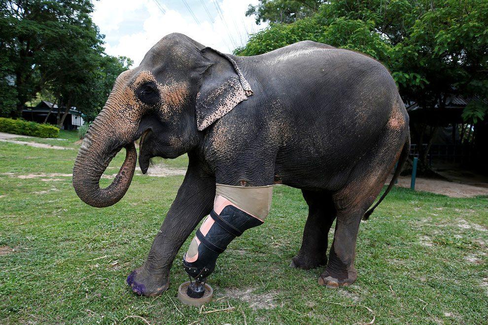 elefanti-senza-zampa-protesi-arto-artificiale-tailandia-10