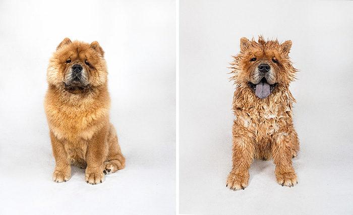 foto-cani-bagnati-prima-dopo-bagno-02