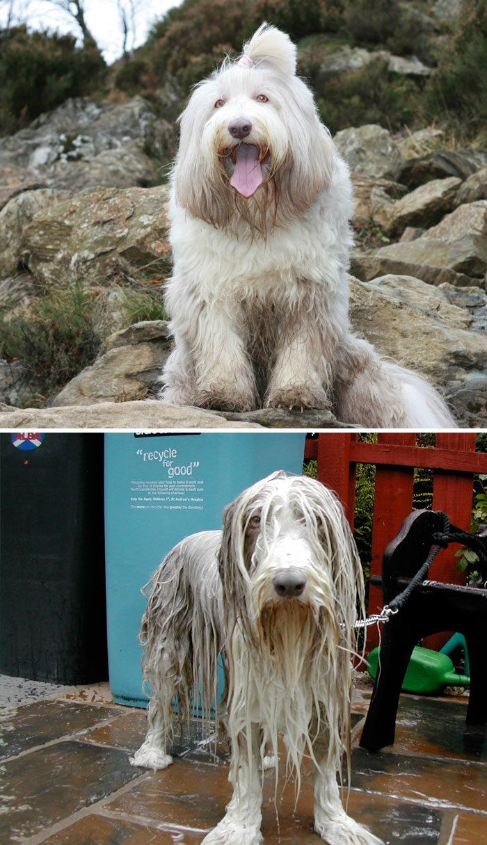 foto-cani-bagnati-prima-dopo-bagno-06