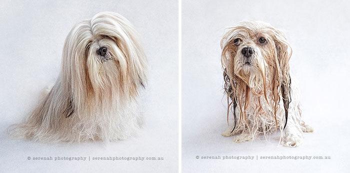 foto-cani-bagnati-prima-dopo-bagno-14