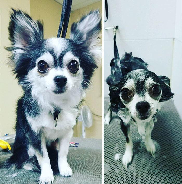 foto-cani-bagnati-prima-dopo-bagno-15