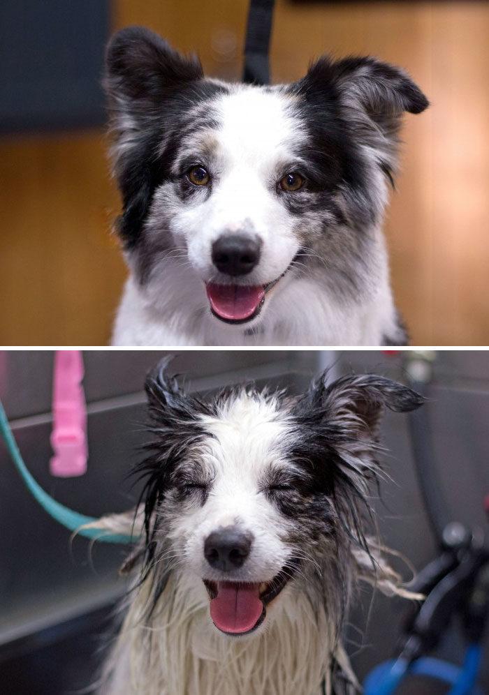 foto-cani-bagnati-prima-dopo-bagno-16