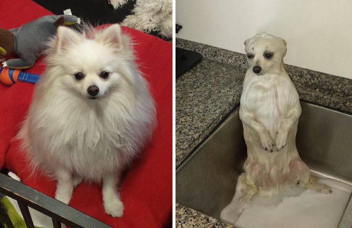 foto-cani-bagnati-prima-dopo-bagno-21