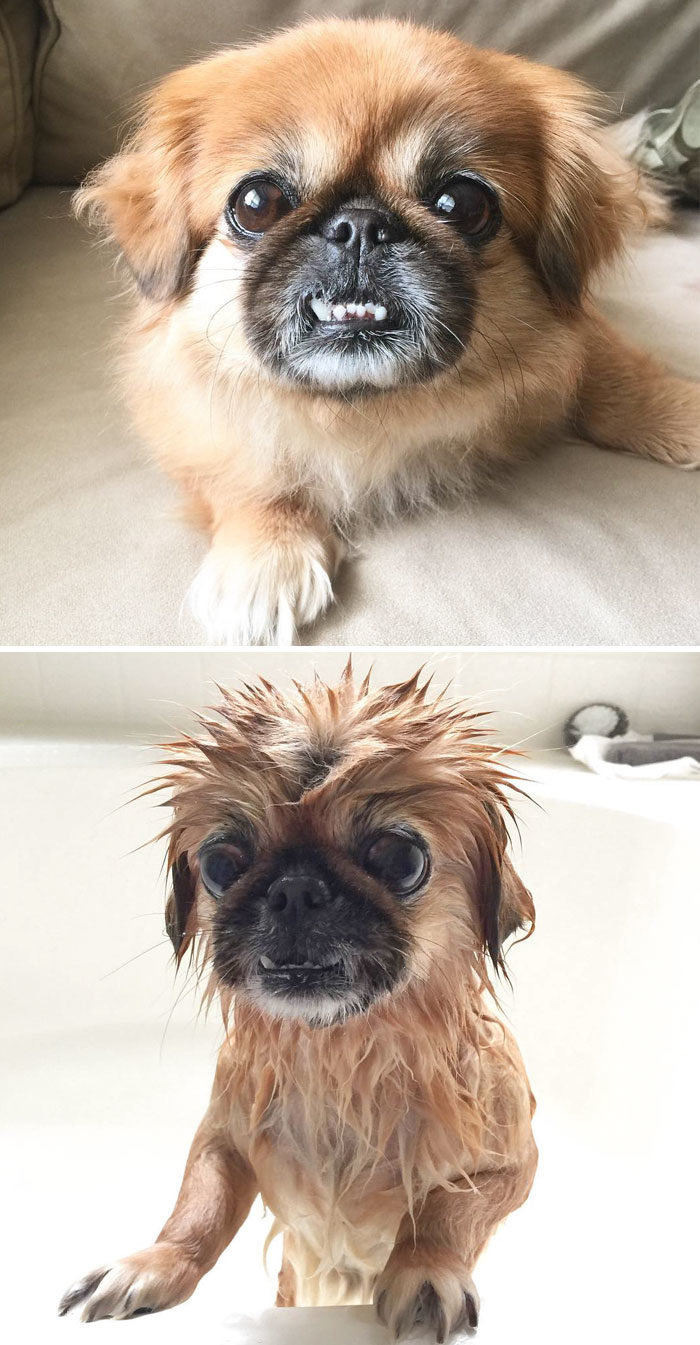 foto-cani-bagnati-prima-dopo-bagno-22