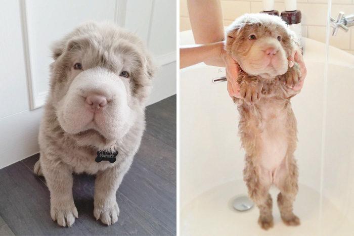 foto-cani-bagnati-prima-dopo-bagno-23