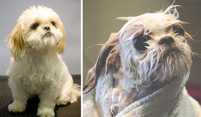 foto-cani-bagnati-prima-dopo-bagno-30