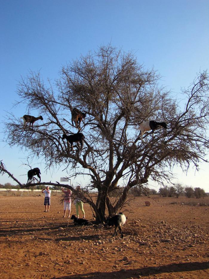 foto-capre-marocco-arrampicate-albero-argania-01