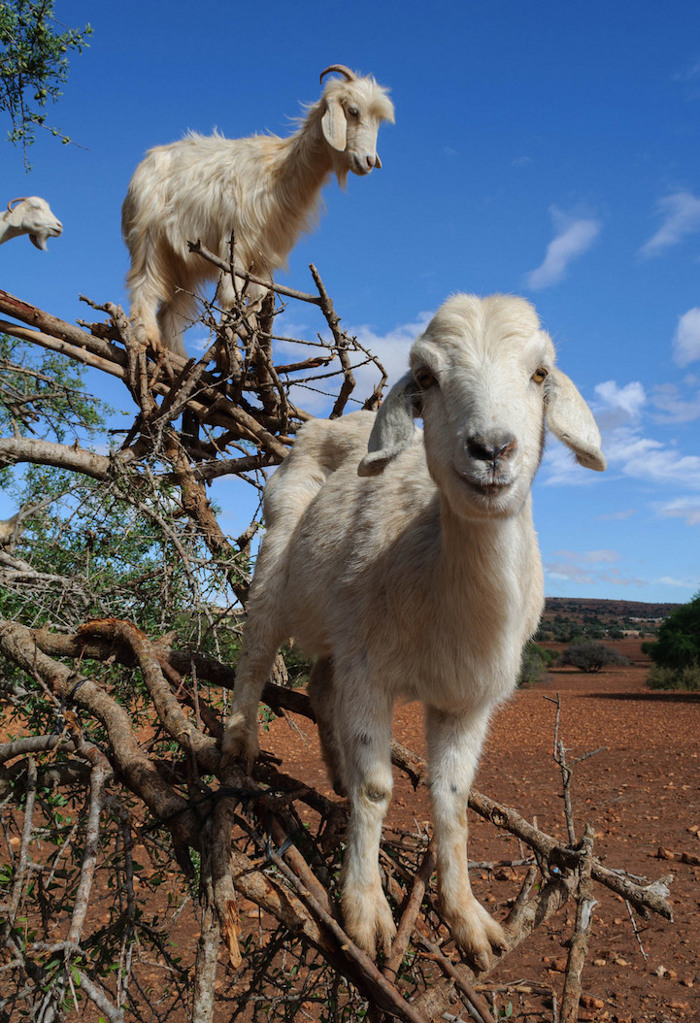 foto-capre-marocco-arrampicate-albero-argania-02