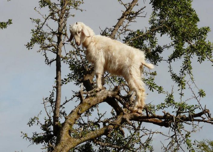 foto-capre-marocco-arrampicate-albero-argania-03