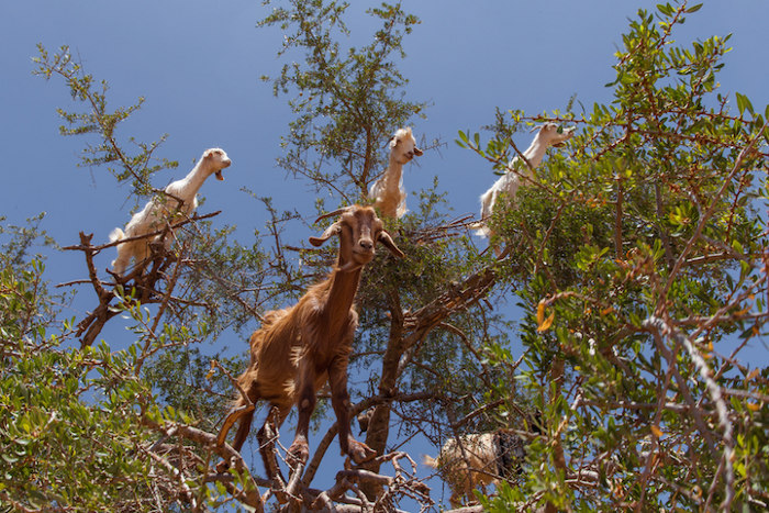 foto-capre-marocco-arrampicate-albero-argania-07
