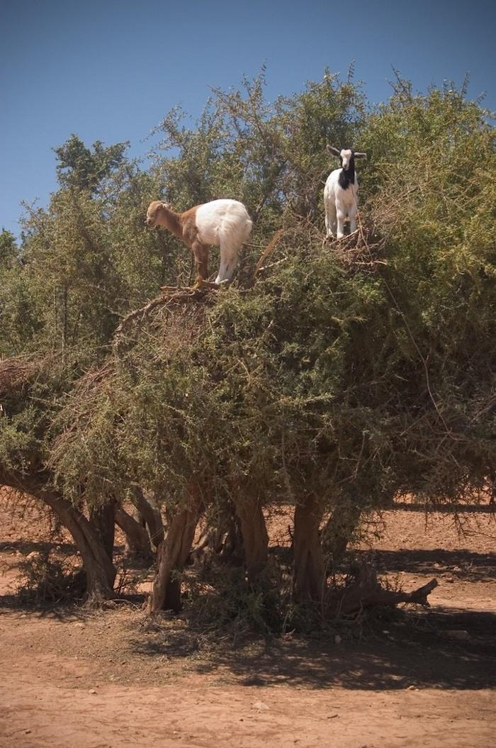 foto-capre-marocco-arrampicate-albero-argania-08