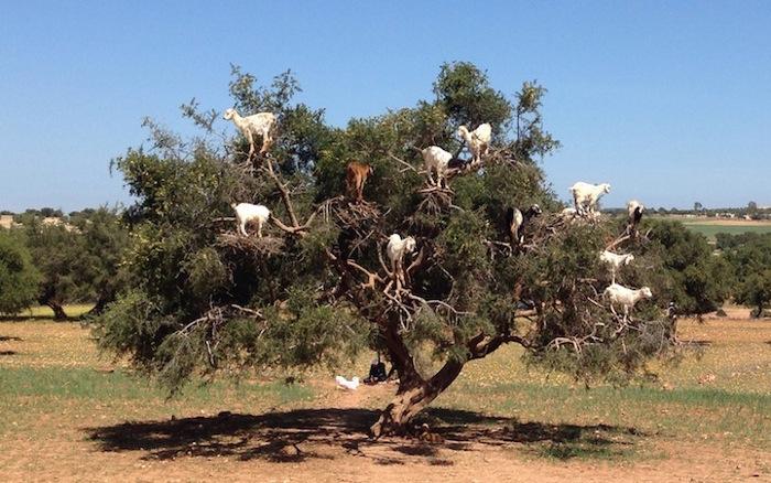 foto-capre-marocco-arrampicate-albero-argania-09