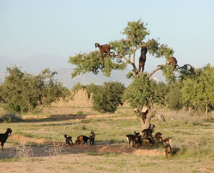 foto-capre-marocco-arrampicate-albero-argania-10