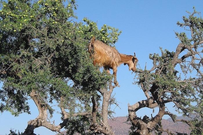 foto-capre-marocco-arrampicate-albero-argania-11