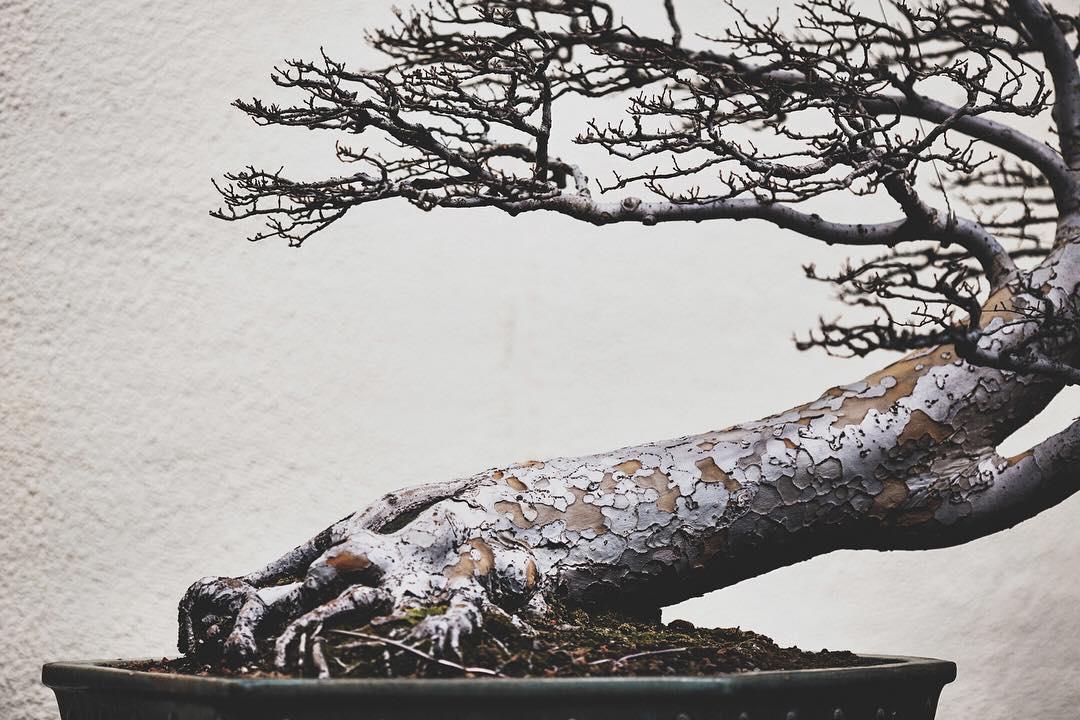 fotografia-alberi-bonsai-libro-stephen-voss-01