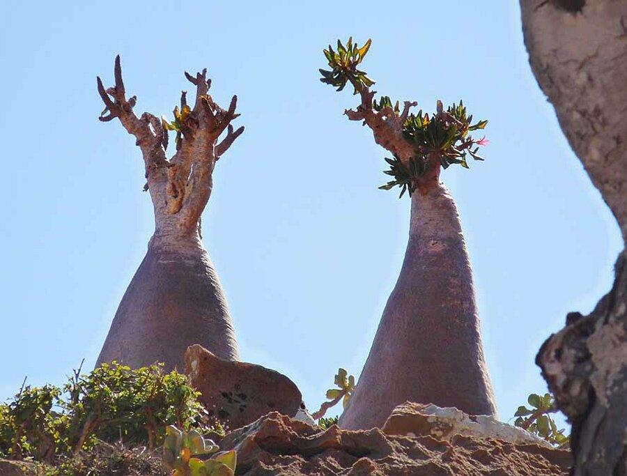 isola-socotra-yemen-dracena-alberi-piante-aliene-05