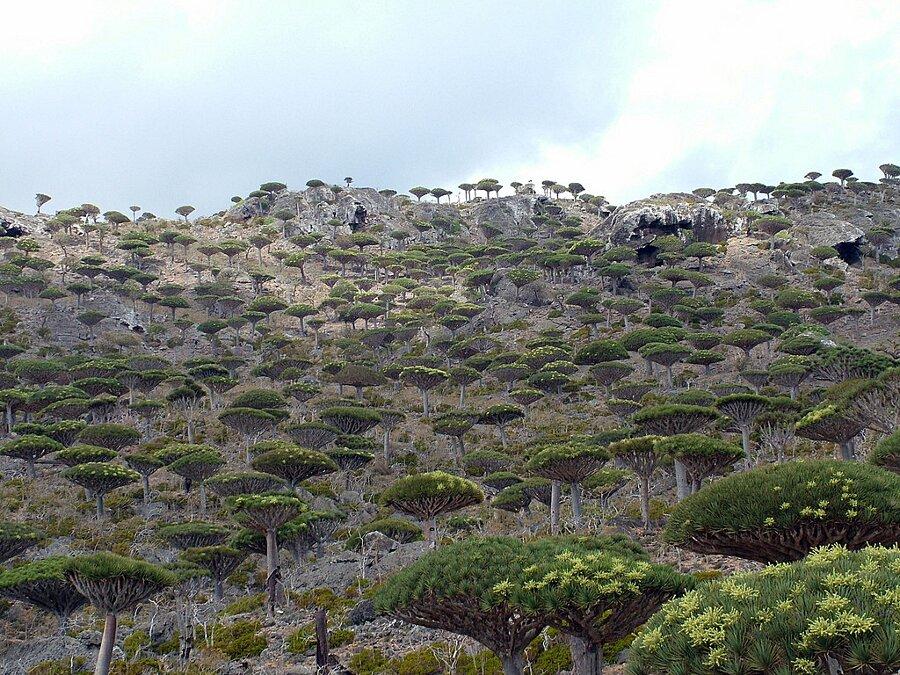 isola-socotra-yemen-dracena-alberi-piante-aliene-06