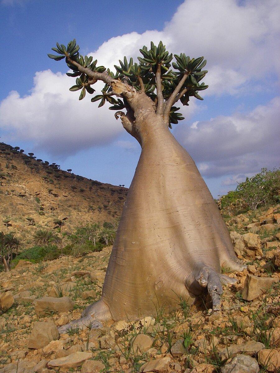 isola-socotra-yemen-dracena-alberi-piante-aliene-07