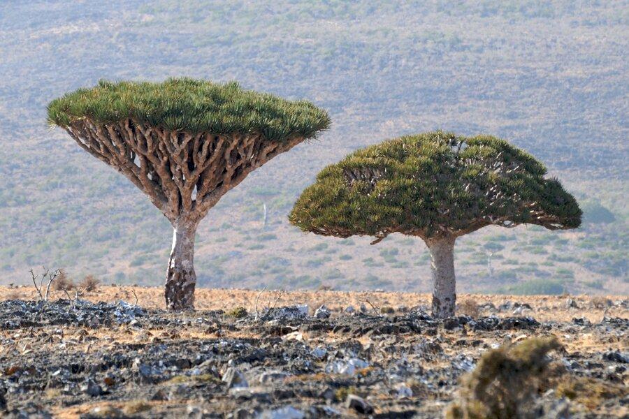 isola-socotra-yemen-dracena-alberi-piante-aliene-10