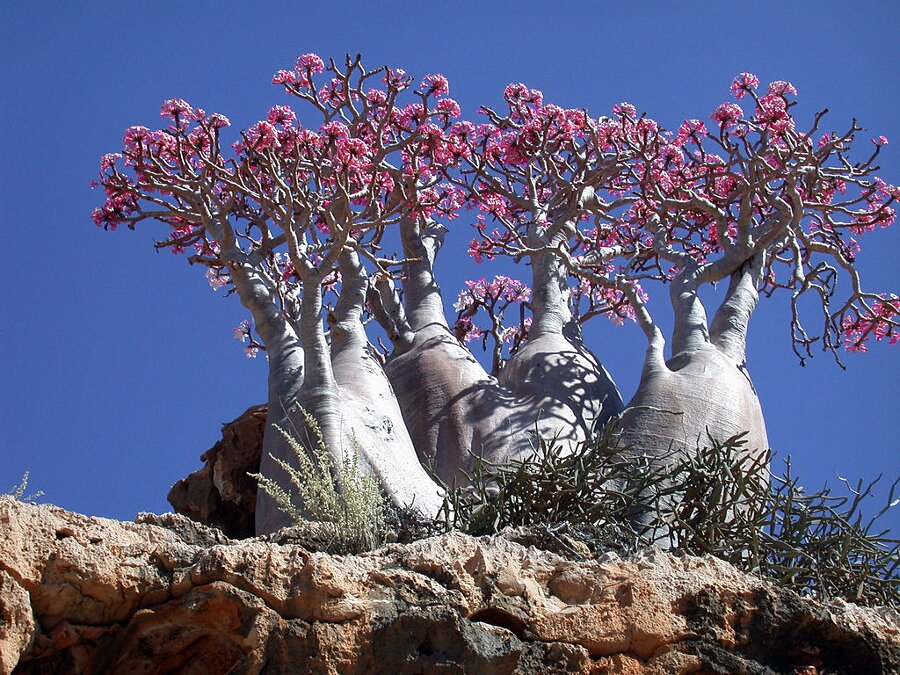 isola-socotra-yemen-dracena-alberi-piante-aliene-13