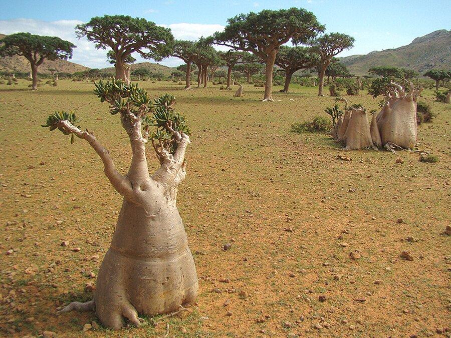 isola-socotra-yemen-dracena-alberi-piante-aliene-18