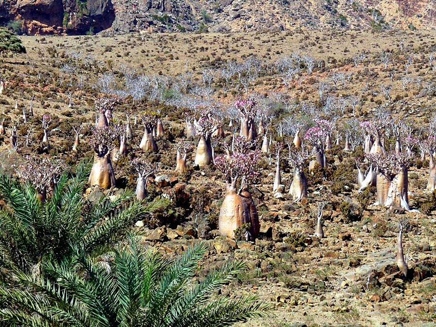 isola-socotra-yemen-dracena-alberi-piante-aliene-19