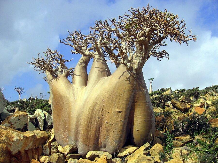 isola-socotra-yemen-dracena-alberi-piante-aliene-21