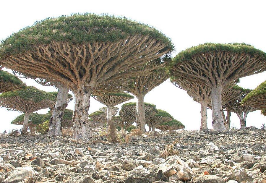 isola-socotra-yemen-dracena-alberi-piante-aliene-22