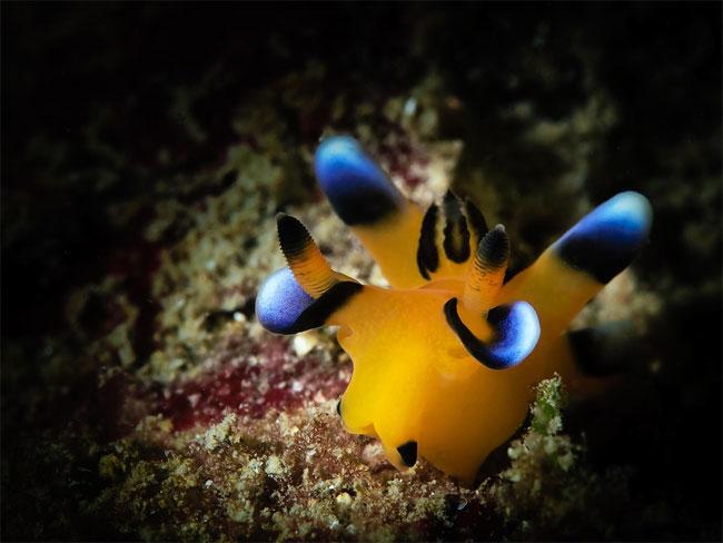 lumaca-mare-sembra-pikachu-thecacera-pacifica-11