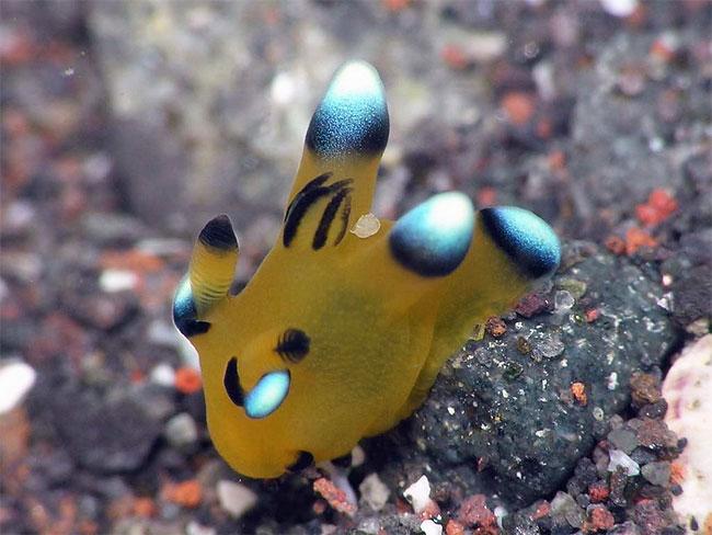 lumaca-mare-sembra-pikachu-thecacera-pacifica-14